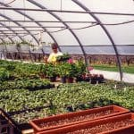 Ellen Helmuth in her market garden greenhouse, North Hill Farm, 1994. Orchard visible through the open side of the greenhouse