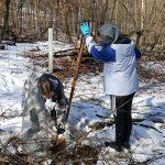 American Chestnut tree seedling planting